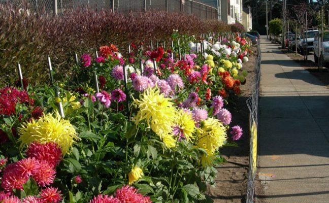 Cabrillo Dahlia Garden
